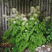 Location: West Chester, PennsylvaniaDate: 2011-05-30plant in bloom at fence
