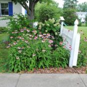 Location: Downingtown, PennsylvaniaDate: 2017-07-05group in bloom at fence