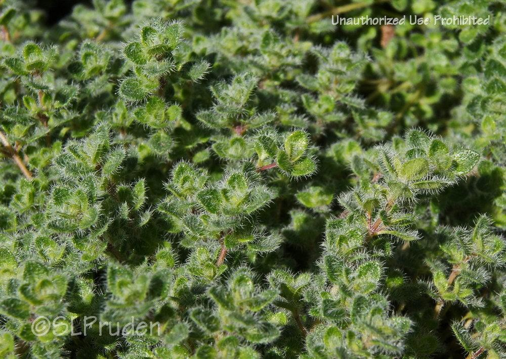 Photo of Woolly Thyme (Thymus praecox subsp. britannicus) uploaded by DaylilySLP