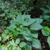 Location: Sadsbury Preserve near Coatesville, PADate: 2015-08-21top of plants