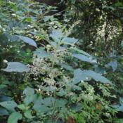 Location: Pennypack Park in Philadelphia, PADate: 2017-08-17flower clusters among foliage