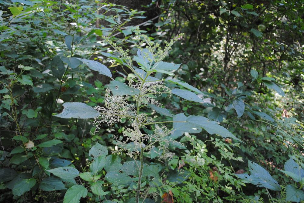 Photo of Canadian Wood Nettle (Laportea canadensis) uploaded by ILPARW