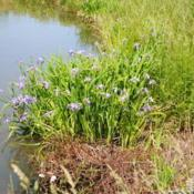 Location: Rehoboth Beach, DelawareDate: 2017-05-25wild patch at drainage pond of condo area