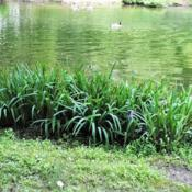 Location: Wayne, PennsylvaniaDate: 2017-06-18plants at pond not in bloom