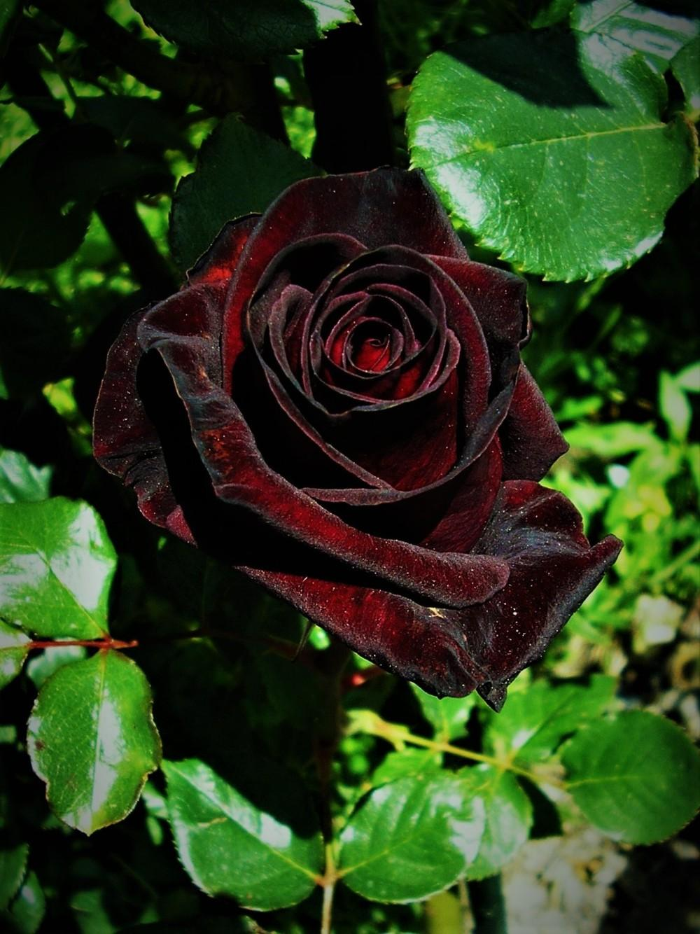 Photo of Rose (Rosa 'Black Baccara') uploaded by manueldalmeida