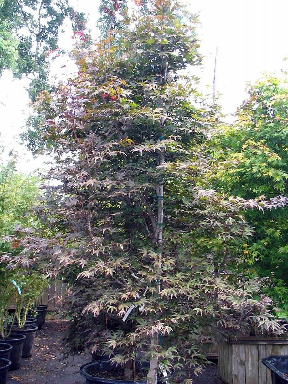 Photo Of The Entire Plant Of Japanese Maple Acer Palmatum Moonfire
