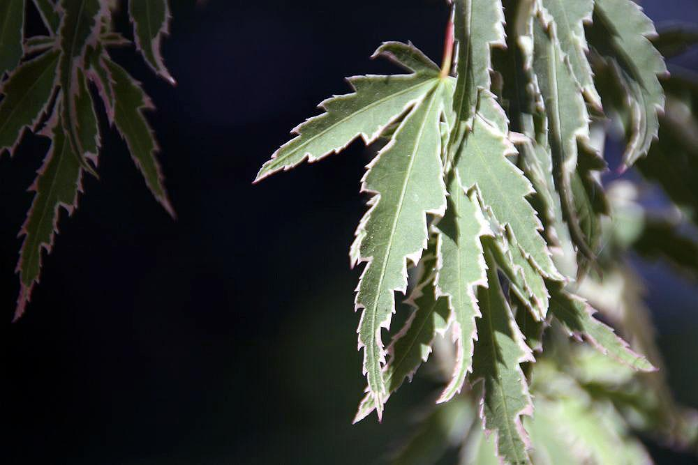 Photo of Japanese Maple (Acer palmatum 'Butterfly') uploaded by robertduval14