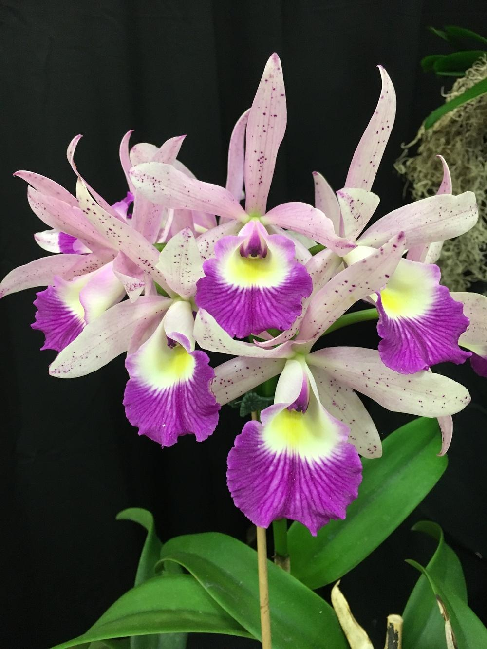 Photo of Orchid (Brassocattleya Glorious May) uploaded by BigBill