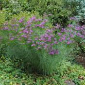 Location: West Chester, PennsylvaniaDate: 2014-09-08one plant in bloom in a landscape border