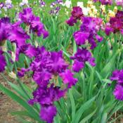 Location: My GardensDate: May 21, 2004Clump View Of Star Wars In My Iris Garden 2004