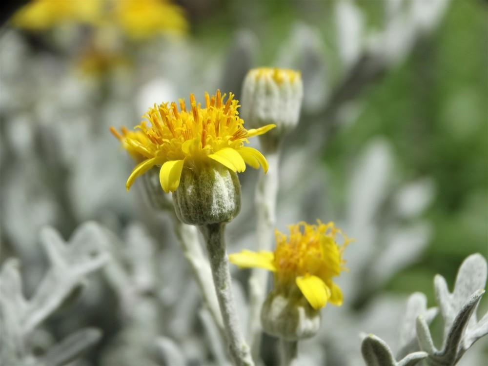 Photo of Dusty Miller (Jacobaea maritima subsp. maritima) uploaded by carolem