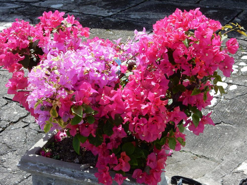 Photo of Bougainvilleas (Bougainvillea) uploaded by tofitropic