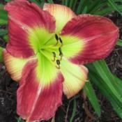Photo Courtesy of Lobo Rose and Daylily Gardens. Used w
