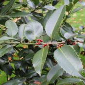 Location: Royal Botanic Gardens, KewDate: 2017-10-09As Ilex x koehneana