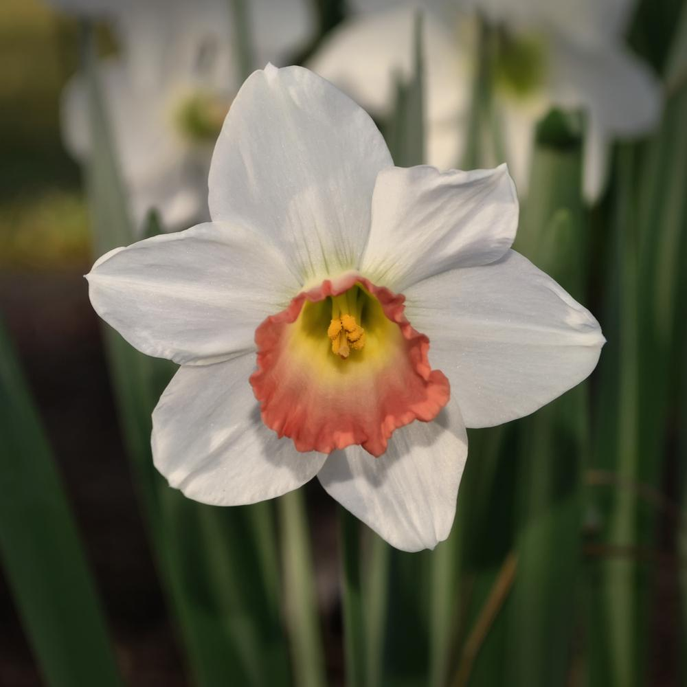 Photo of Large-Cupped Daffodil (Narcissus 'Pink Charm') uploaded by dawiz1753
