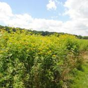 Location: near Downingtown, PennsylvaniaDate: 2013-07-05a wild patch in bloom