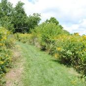 Location: Stroud Land Preserve in southeast PADate: 2012-07-22masses in bloom along a path