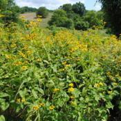 Location: Stroud Land Preserve in southeast PADate: 2012-07-22a mass of plants together
