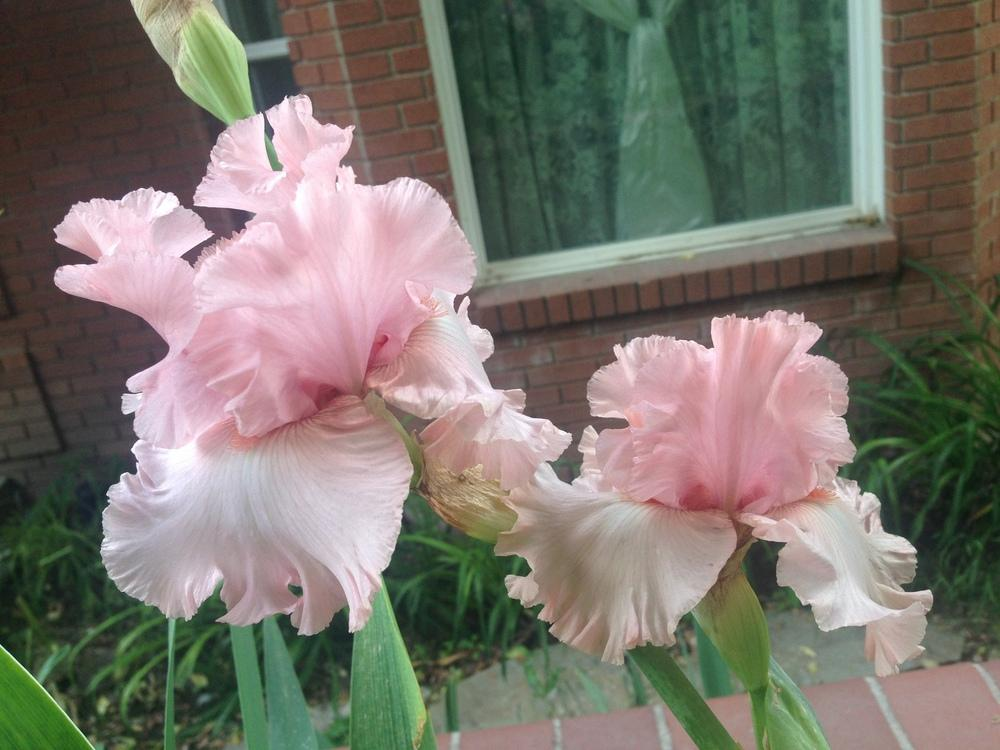 Photo of Tall Bearded Iris (Iris 'April in Paris') uploaded by SpringGreenThumb
