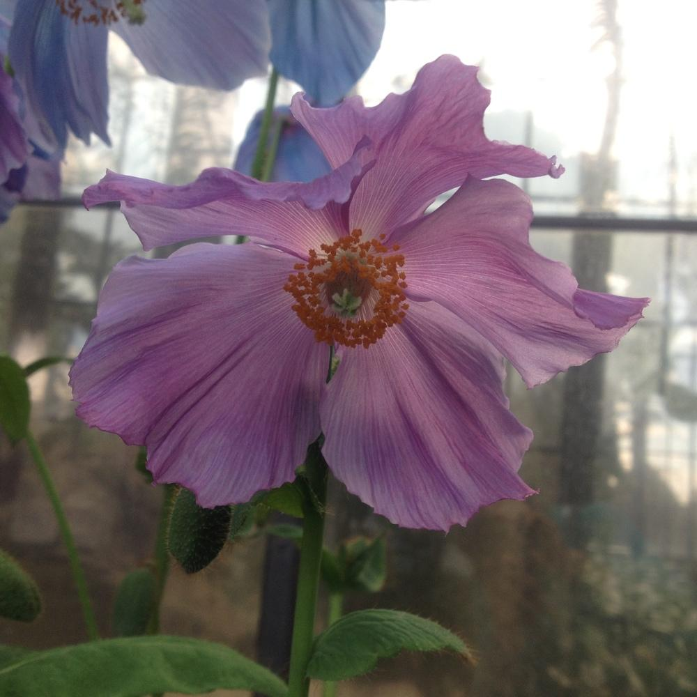 Photo of Poppy (Meconopsis 'Lingholm') uploaded by csandt