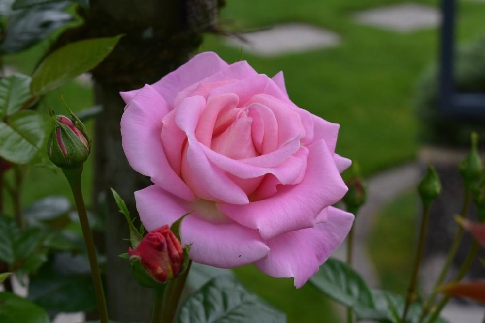 Photo of Rose (Rosa 'Verian') uploaded by sunnyvalley