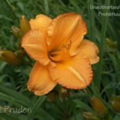 Location: Private Daylily Garden, MIDate: 2006-07-01