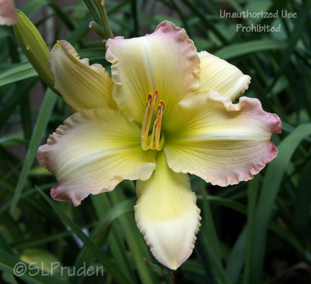 Photo of Daylily (Hemerocallis 'Beautiful Edgings') uploaded by DaylilySLP