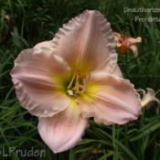 Location: Private Daylily Garden, MIDate: 2008-08-09
