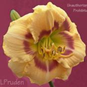 Location: SMDS Daylily Show, MIDate: 2009-07-18Fused bloom