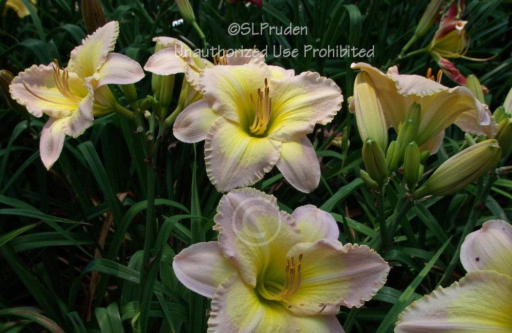 Photo of Daylily (Hemerocallis 'Blessed Art Thou') uploaded by DaylilySLP