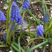 Location: Nora's Garden - Castlegar, B.C.Date: 2017-04-24Crisp, pine-cone shaped buds emerge from the ground.