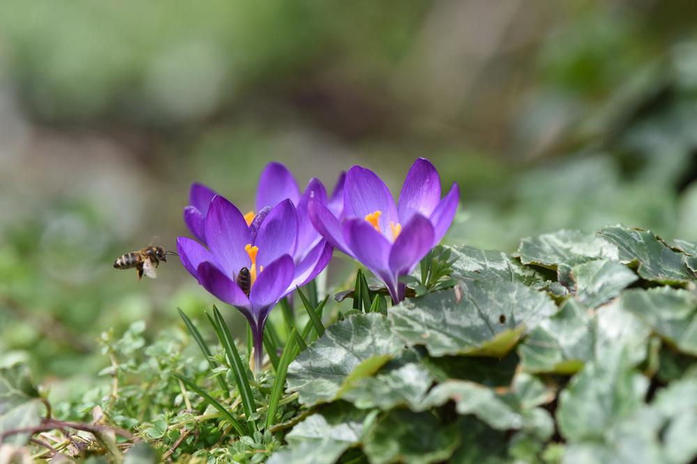 5cd40118e Crocus  Plant Care and Collection of Varieties - Garden.org