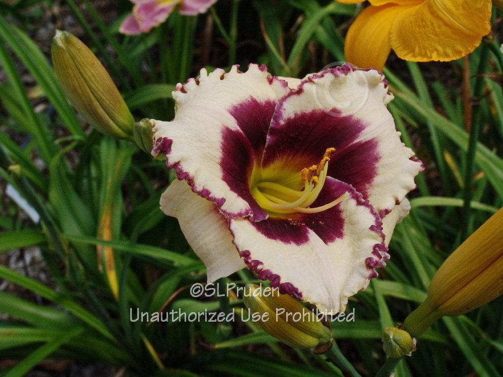 Photo Of The Bloom Of Daylily Hemerocallis Border Bride Posted