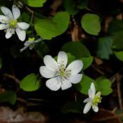 Location: Botanical Gardens of the State of Georgia...Athens, GaDate: 2018-03-10Rue Anemone 001