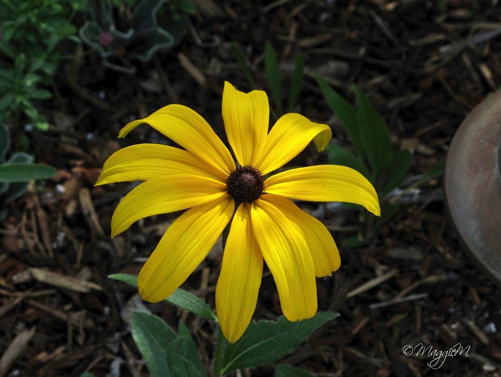 Photo of Black-Eyed Susan (Rudbeckia hirta 'Indian Summer') uploaded by Faerygardener