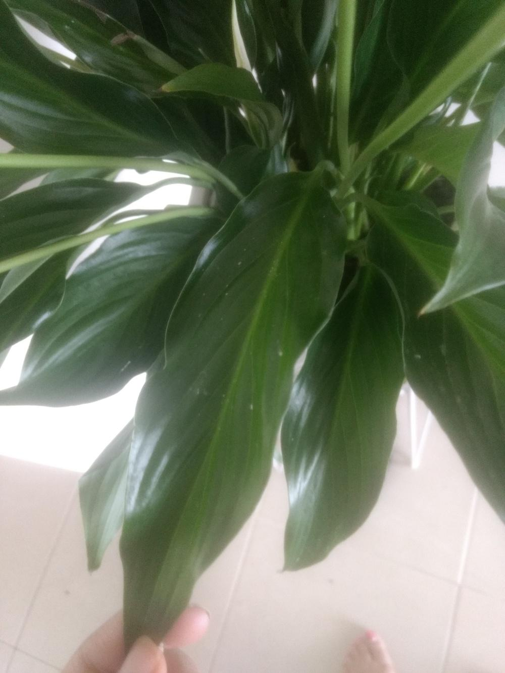 Ask a question forum does my peace lily look healthy garden thumb of 2018 03 15pallavi9d3dc9 izmirmasajfo