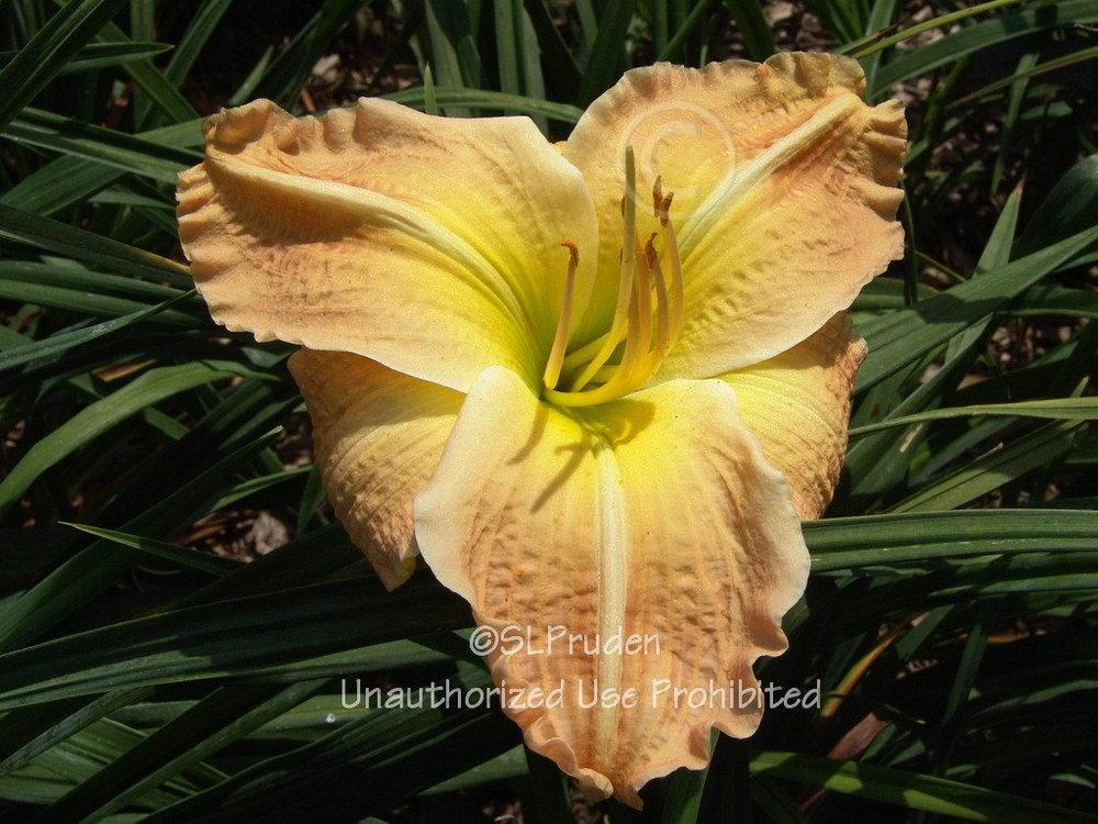 Photo of Daylily (Hemerocallis 'Canton Harbor') uploaded by DaylilySLP