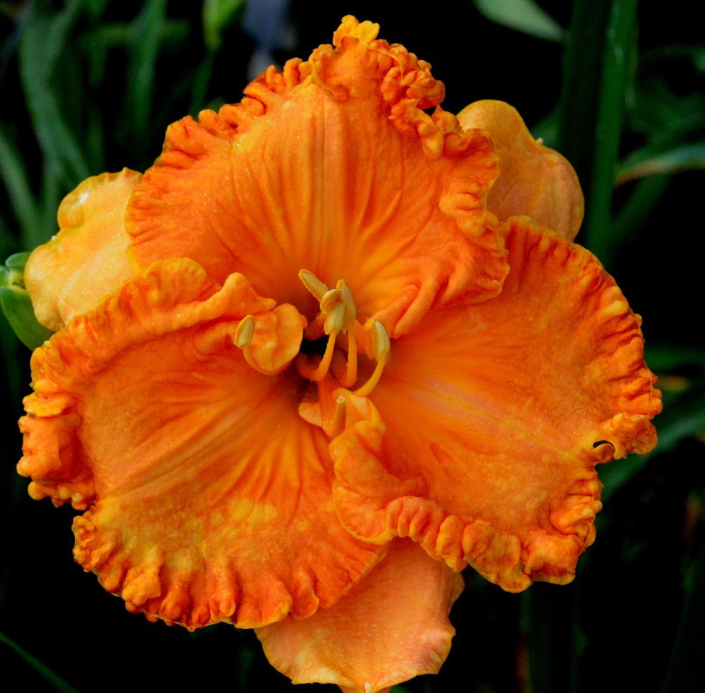 Photo of Daylily (Hemerocallis 'Citrus Explosion') uploaded by Tambookie
