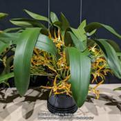 Photo of Orchid (Maxillaria luteograndiflora)