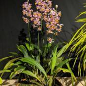 Photo of Orchid (Gastrorchis francoisii)
