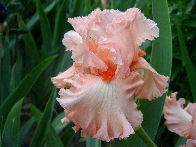 Photo of Tall Bearded Iris (Iris 'Guardian Angel') uploaded by Caruso