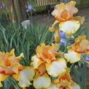 Photo of Tall Bearded Iris (Iris 'Captain Crunch')