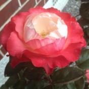 Location: Christchurch, New ZealandDate: 2018-02-19Such a beautiful rose. My daughter calls it the 'Candy