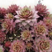 Photo of Hen and Chicks (Sempervivum 'Yolanda')