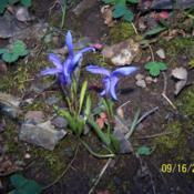 Photo of Perennial fringed gentian (Gentianopsis barbellata)