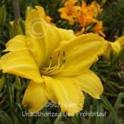 Location: Private Daylily Garden, MIDate: 2011-07-13
