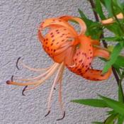 Location: Nora's Garden - Castlegar, B.C.Date: 2014-08-01The classic Tiger Lily