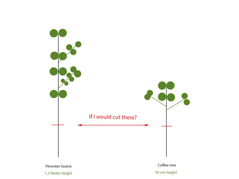 Ask a Question forum: Guava and coffee pruning - Garden org