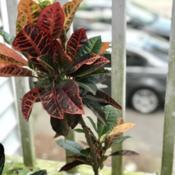 Location: Charleston, SCDate: 2018-03-18Top-heavy Croton in need of a trim