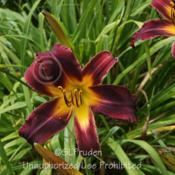 Location: Private Daylily Garden, MIDate: 2011-07-24